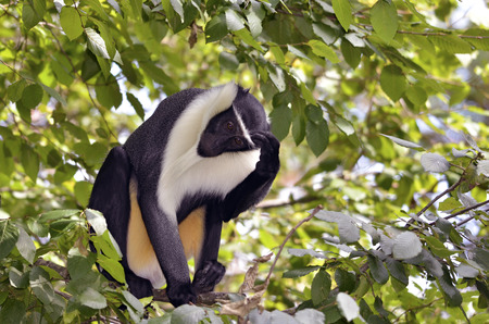 diana: Black and white diana monkey Cercopithecus diana of Roloway in a tree