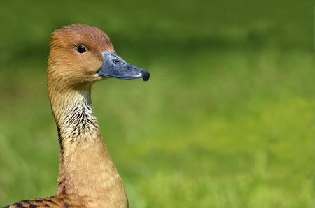 fulvous: Fulvous Whistling Duck Portrait of Dendrocygna bicolor on green background Stock Photo