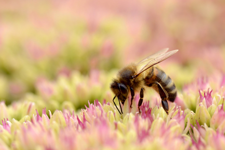 apis: Macro of honey bee Apis feeding on sedum flower seen of profile