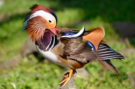 aix galericulata: Closeup male mandarin duck Aix galericulata on a rock, view of profile Stock Photo
