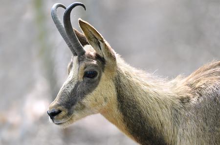 bovid: Profile portrait of chamois Rupicapra rupicapra