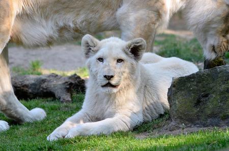 panthera leo: Closeup of a rare white lion cub Panthera leo lying on grass Stock Photo