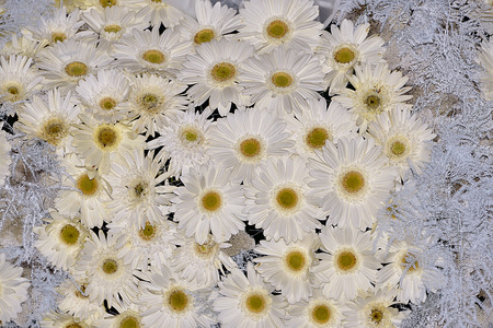 ornamentations: Background of white daisy flowers ornament Stock Photo