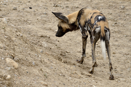 lycaon pictus: African Wild Dog Lycaon pictus seen from behind