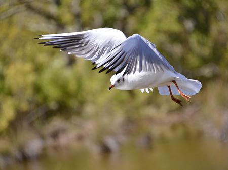 ridibundus: Closeup Black-headed gull Larus ridibundus in flight in Arcachon Bay in France