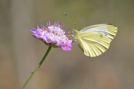 pieris: Macro of Pieris butterfly feeding on white flower knautia