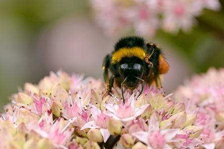 bombus: Macro of bumblebee Bombus terrestris feeding on sedum flower seen from front Stock Photo