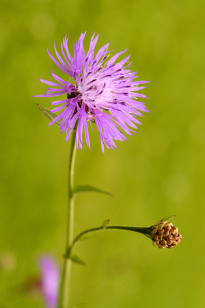 centaurea: Macro of single Centaurea scabiosa Greater Knapweed flower with bud