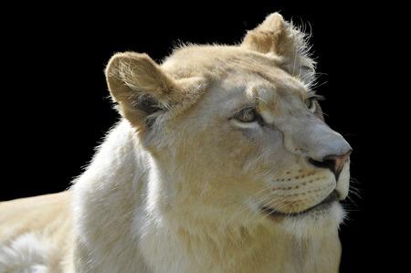panthera leo: Portrait of a rare white lioness Panthera leo isolated on black background