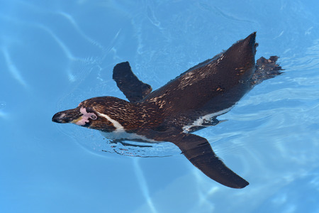 palmate: Spheniscus humboldti Humboldt penguin swimming on blue water viewed from above