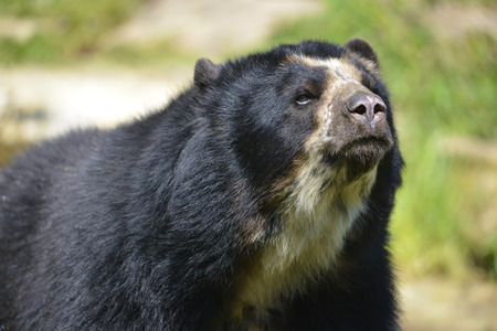 spectacled: Portrait Andean bear Tremarctos ornatus