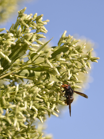 predatory insect: Asian predatory wasp Asian predatory wasp feeding on Baccharis halimifolia plant on blue sky background at the Arcachon bay in France
