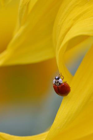 coccinella: Coccinella Ladybug on yellow sunflower petal