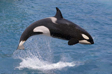 Orcinus orca killer whale jumping out of the water Stock Photo - 46962987