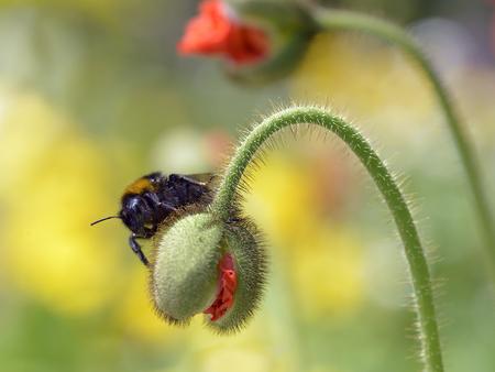 bombus: Macro of bumblebee Bombus on hairy bud poppy Stock Photo