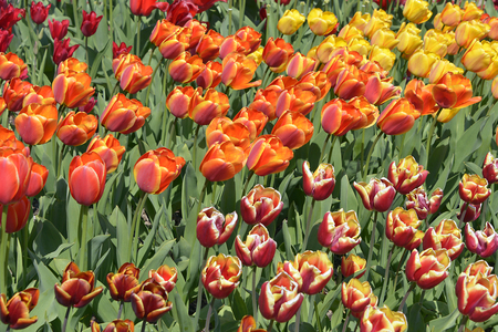 cultivated: Cultivated of tulips Tulipa