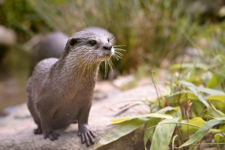aonyx: Closeup small-clawed otter Aonyx cinerea among plants