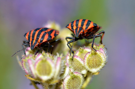 graphosoma: Macro of Graphosoma lineatum bug on two plant of forehead viewed