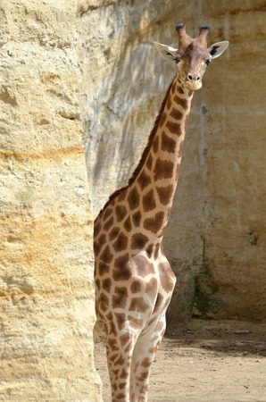 giraffa camelopardalis: Giraffe Giraffa camelopardalis near cliff