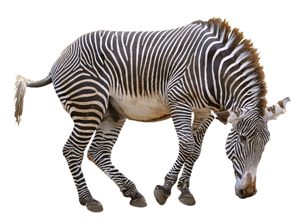 fast: Zebras of Grevy zebra Equus grevyi imperial gold isolated on white background Stock Photo