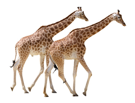 camelopardalis: Two giraffes Giraffa camelopardalis walking in isolated on white background Stock Photo