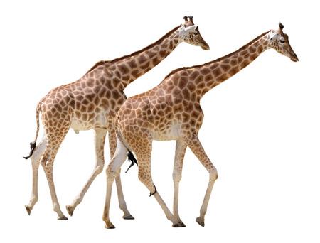 giraffa camelopardalis: Two giraffes Giraffa camelopardalis walking in isolated on white background Stock Photo