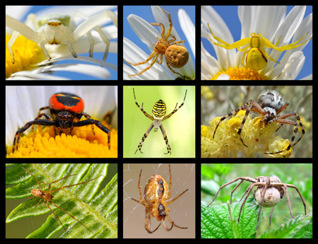flower  crab  spider: Nine mosaic pictures of spiders Stock Photo