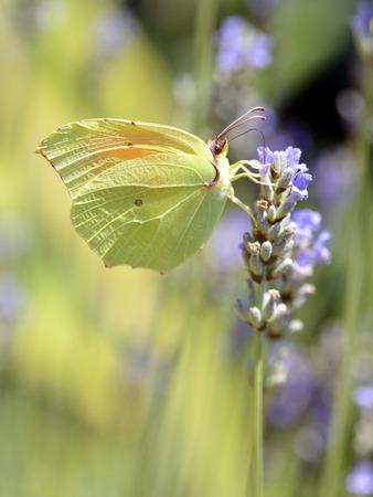 gonepteryx: Macro of male Cleopatra Gonepteryx cleopatra butterfly feeding on lavender flower viewed of profile