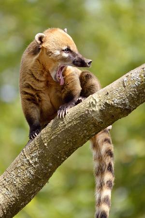 South American Coati, or Ring-tailed Coati Nasua nasua open mouth on branch tree