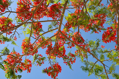 Fabaceae: Closeup of Royal Poinciana or Flamboyant Delonix regia in blooming on blue sky background at Tenerife in Canary Islands