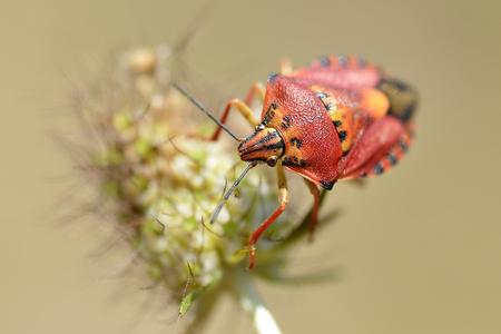 pentatomidae: Red bug of Carpocoris genus on plant Stock Photo