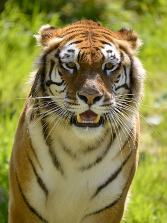 panthera tigris: Portrait of tiger Panthera tigris seen from front Stock Photo