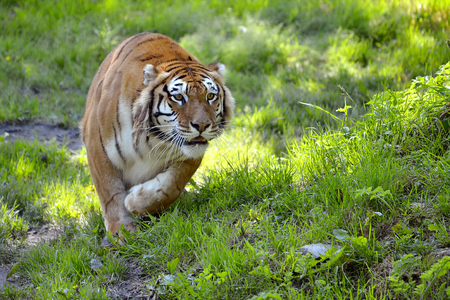 panthera tigris: Tiger Panthera tigris on grass seen from front in attack position Stock Photo