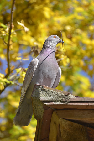 beak pigeon: Pigeon with twig in the beak on background of fall foliage Stock Photo
