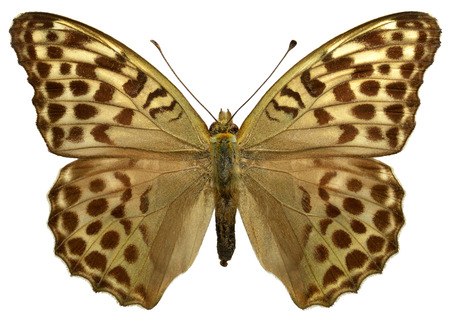 nymphalidae: Female Silver-washed Fritillary butterfly Argynnis paphia isolated on white background