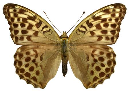 Femme papillon fritillaire Argent lavé Argynnis paphia isolé sur fond blanc
