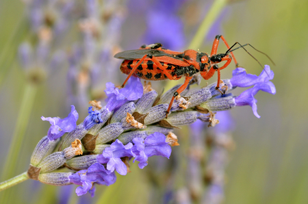 assassin: Macro of black and red assassin bug is Rhynocoris iracundus lavender flower