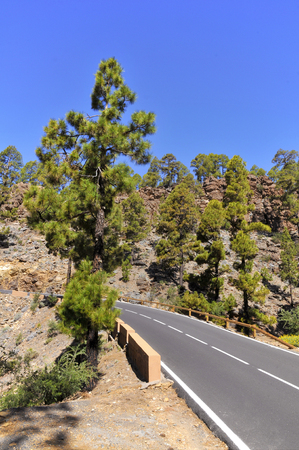 canariensis: Road in the pine forest Pinus canariensis at Tenerife in the Spanish Canary Islands