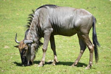 taurinus: Blue wildebeest Connochaetes taurinus feeding