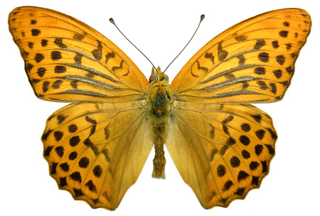 wingspan: Macro of male Silver-washed Fritillary butterfly Argynnis paphia isolated on white background Stock Photo