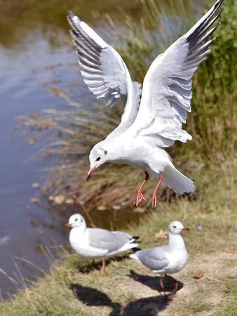 ridibundus: Closeup Black-headed Gull Larus ridibundus in flight in Arcachon Bay in France Stock Photo