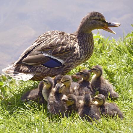 platyrhynchos: Closeup female duck mallard Anas platyrhynchos with its ducklings on grass and near of pond