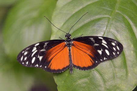 animal vein: Macro of tiger Longwing butterfly Heliconius hecale on leaf and seen from above