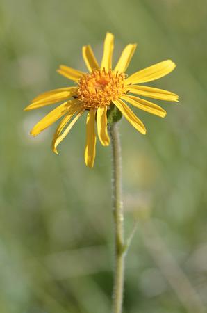 Arnica: Closeup mountain arnica flower Arnica montana