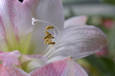 stigma: Macro white and pink lilium flower with stamens and stigma