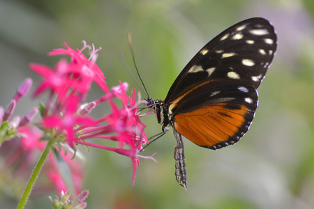 longwing: Tiger Longwing butterfly Heliconius hecale feeding on red flower and seen from profile