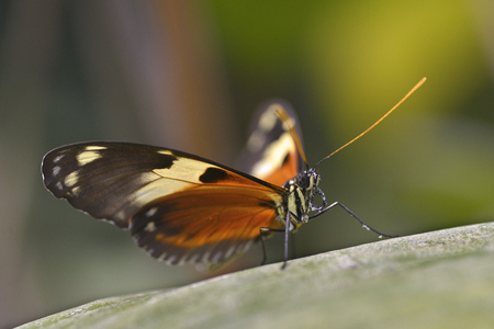 animal vein: Macro of Nymphalidae butterfly on leaf Stock Photo