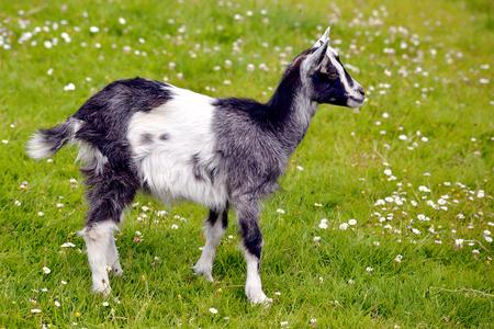 capra: Juvenile black and white goat Capra aegagrus hircus on grass and view of profile