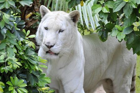 panthera tigris: Portrait of very rare white tiger Panthera tigris Among vegetation Stock Photo