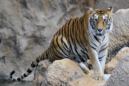 panthera tigris: Closeup a tiger Panthera tigris on rocks Stock Photo